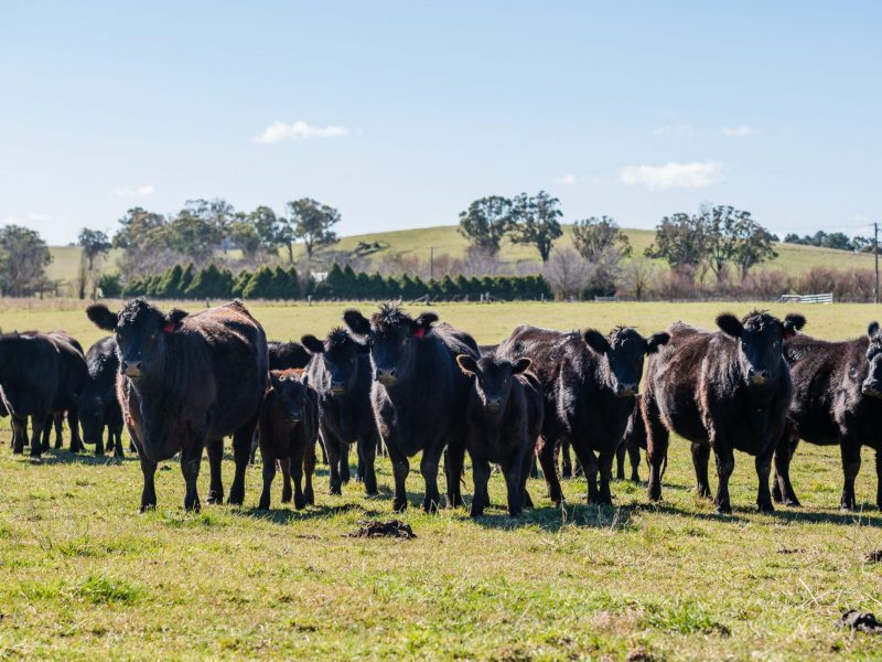 Commercial heifers