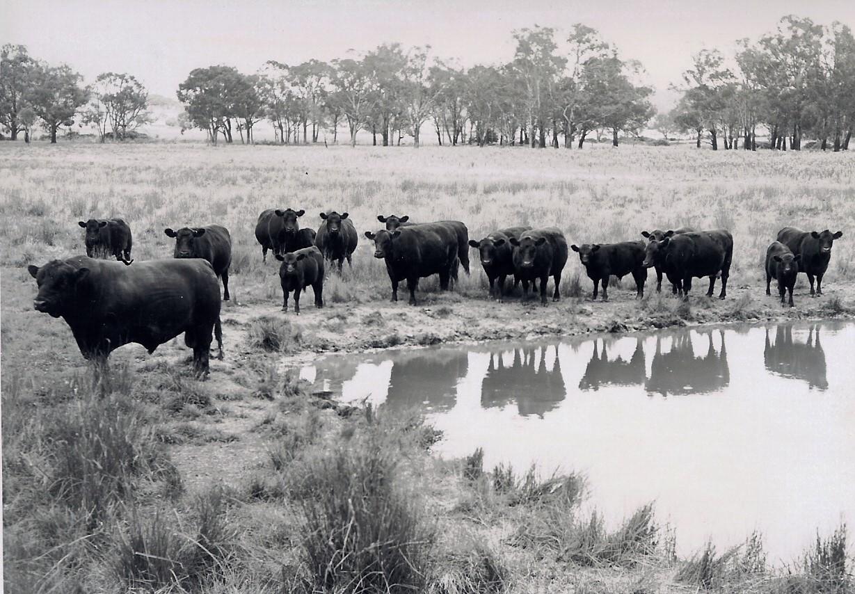 Glengowan stud herd early 1960s